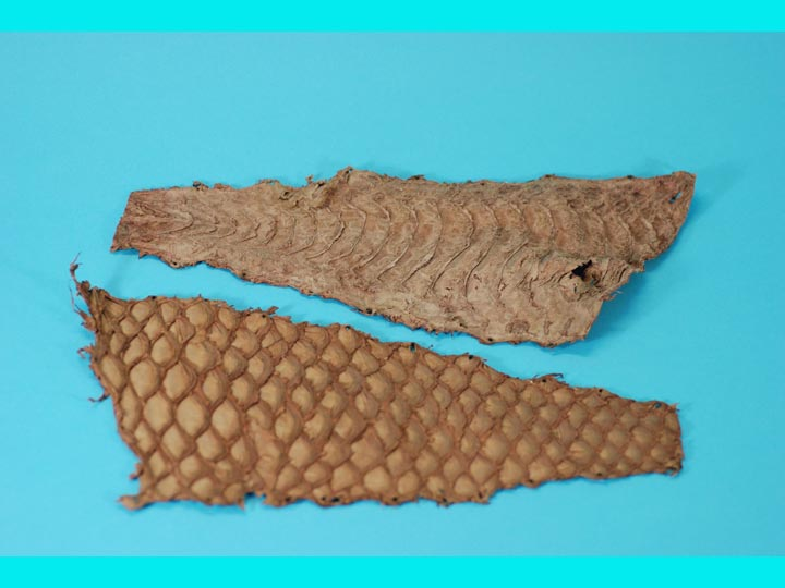 "Parrot Fish Skin: 5"": Brown"