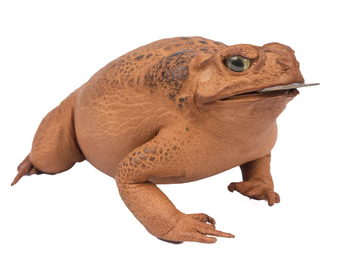 Lucky Cane Toad: Large with coin