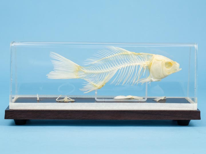 Fish Skeleton Mount