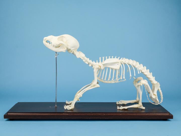 Dog Skeleton Mount