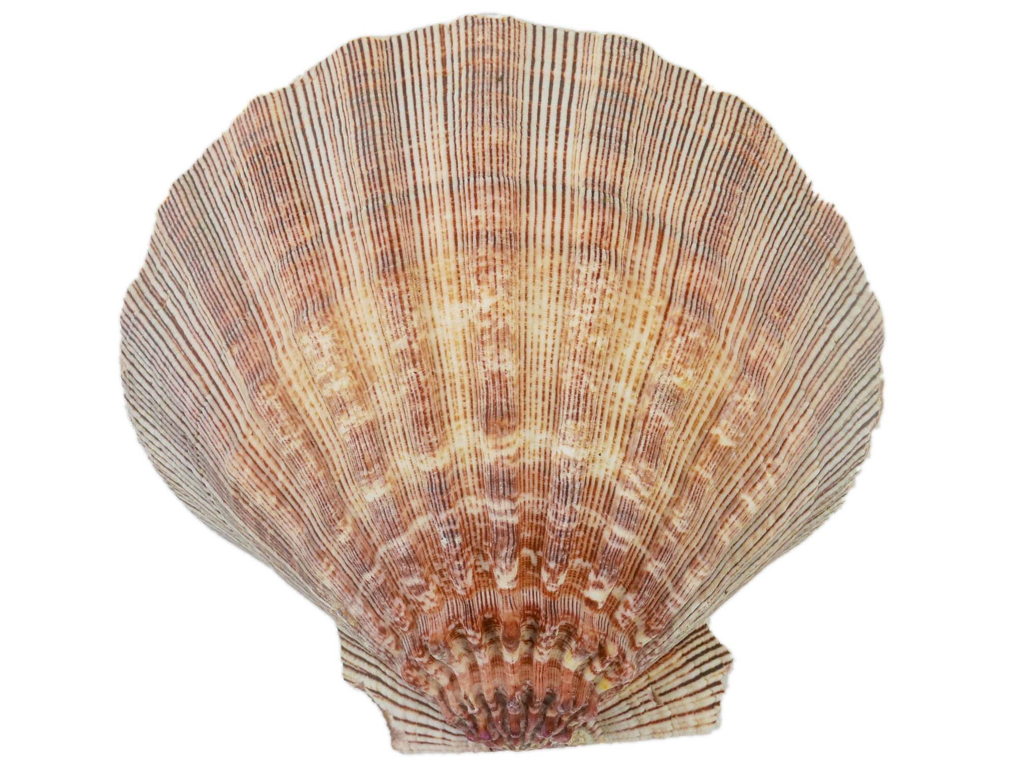 "Lion Paw Scallop Shell (6-7""): Natural Color"
