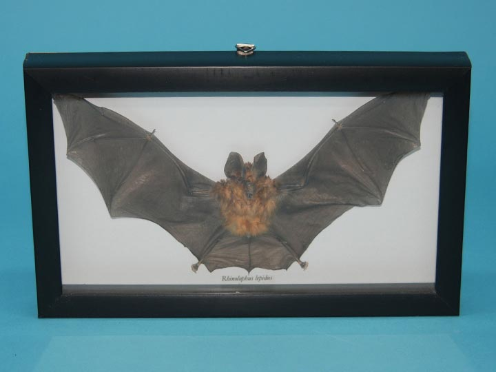 Framed Blyths Horseshoe Bat