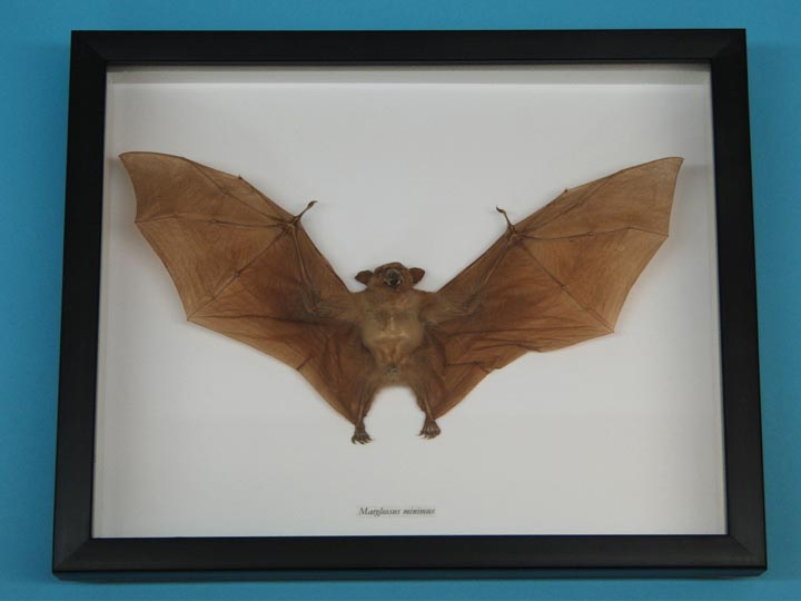 Framed Nectar-Eating Bat