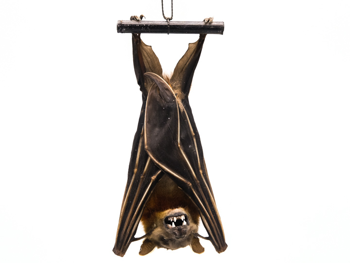 Hanging Lesser Short-Nosed Fruit Bat