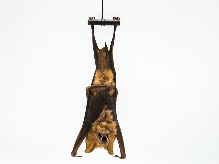 Hanging Large Fruit Bat (R. l.)/Hanging Diadem Leaf-Nosed Bat (H. d.)