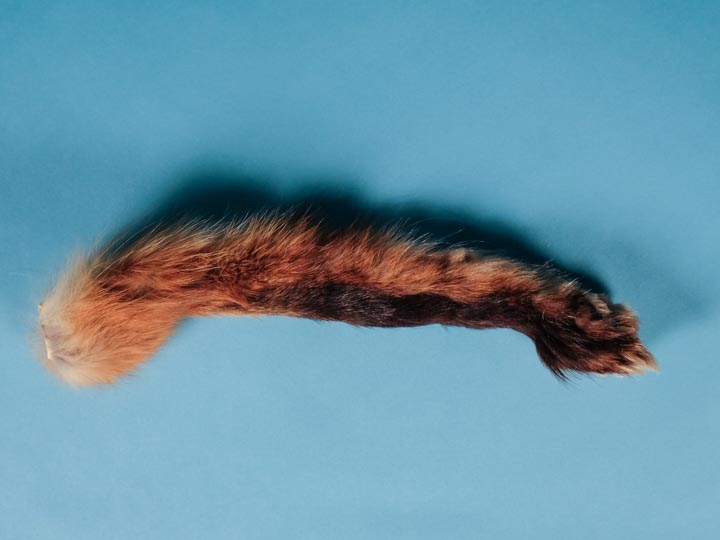 Red Fox Leg Piece with Claws