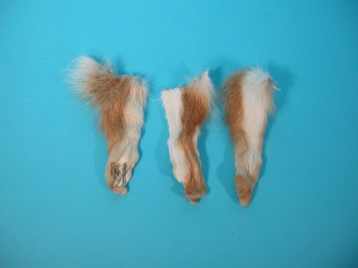 Coyote Leg with Foot without Claws