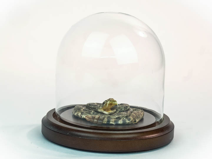 Mounted Rattlesnake in Dome: X-Small