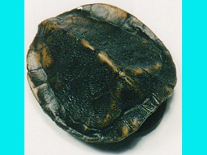 Realistic Small Turtle Shell