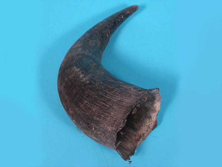 North American Buffalo Horn