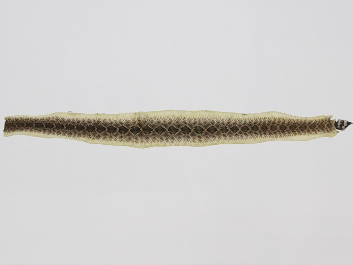 "Real Rattlesnake Skin with Rattle: Assorted (<47"")"