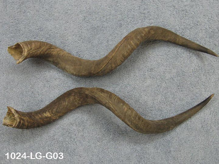 "Kudu Horn: Large (34"" to 38""): Gallery Item"
