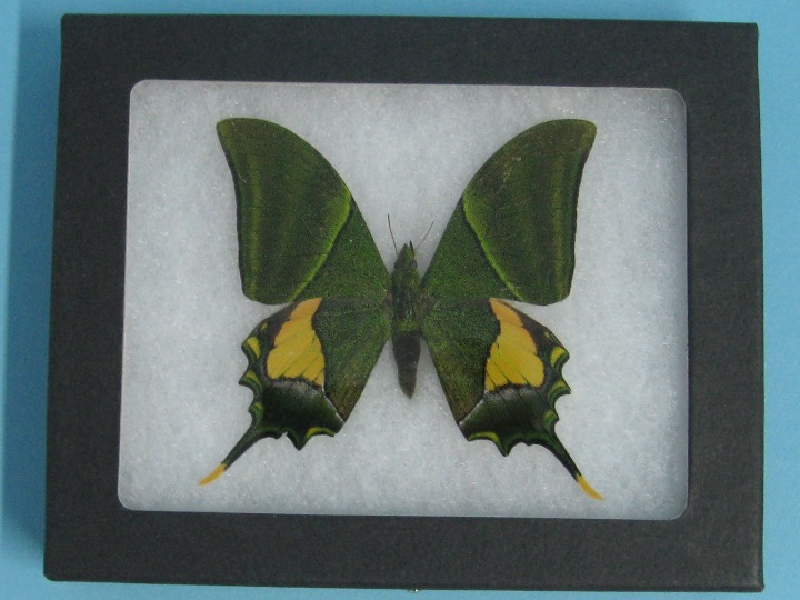 Framed Butterfly: Teinopalpus imperialis: Gallery Item