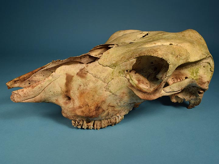 Cow (Muley) Skull: Gallery Item