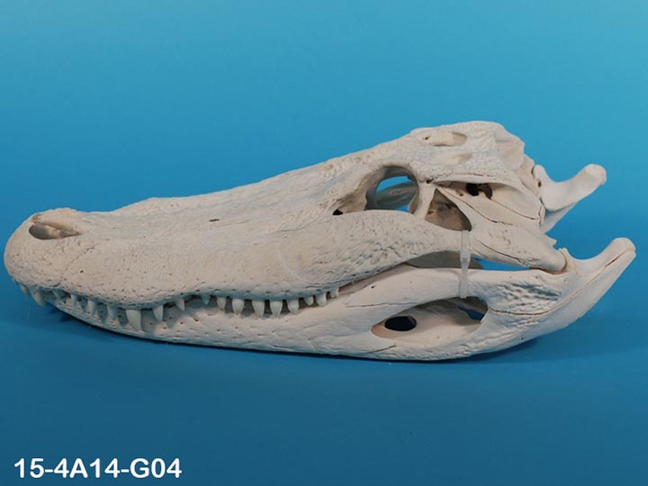 Alligator Skull: #1: Gallery Item