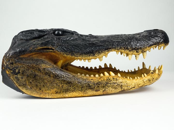 "Alligator Head: 18-19"": Gallery Item"