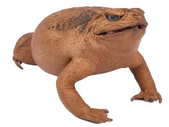 Lucky Cane Toad: Large