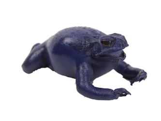 Lucky Cane Toad: Small: Dark Blue
