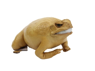 Lucky Cane Toad: Small: Golden Yellow