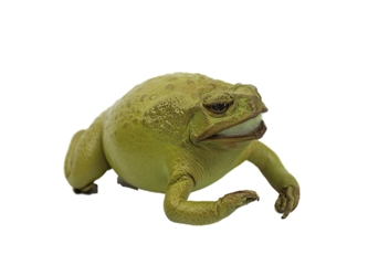 Lucky Cane Toad: Small: Lime Green