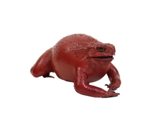 Lucky Cane Toad: Small: Red