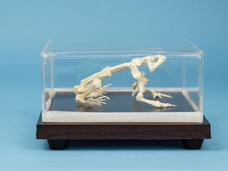 Toad Skeleton Mount