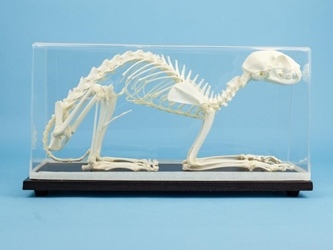 Cat Skeleton Mount