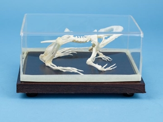 Bullfrog Skeleton Mount