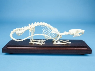 Rat Skeleton Mount