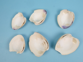 Broken Quahog Shells: Slightly Chipped (lb)