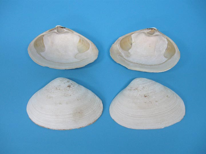 Atlantic Surf Clam Shell