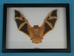 Framed Yellow Bat - 1234-40 (FOW)