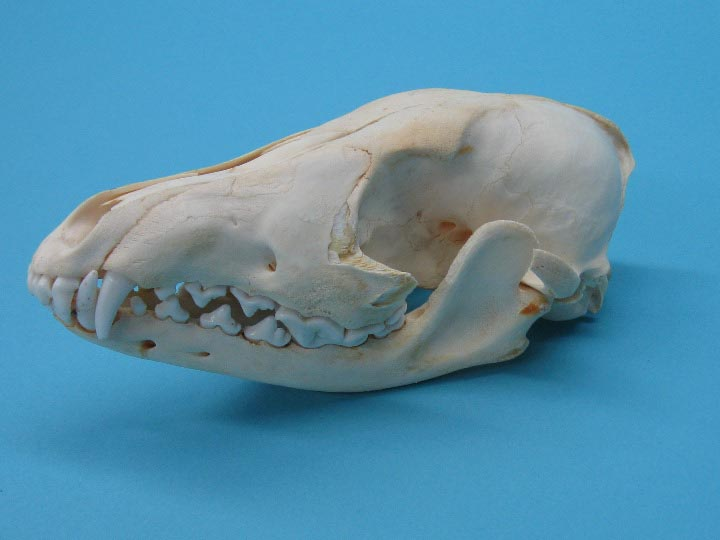 Cheap Quality #2 Canis latrans Damaged Coyote Skull
