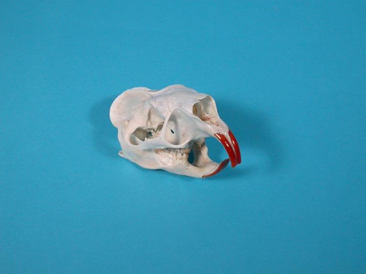 North american porcupine skull