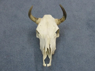 Steer Skull with Horns: Assorted