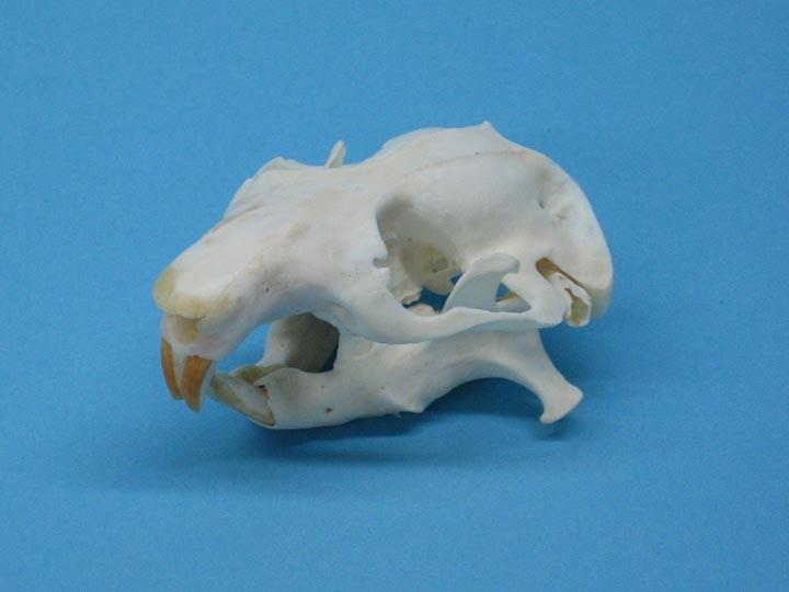 Mountain Beaver Skull