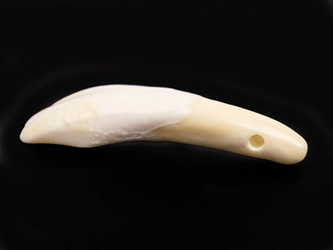 Drilled Water Buffalo Tooth
