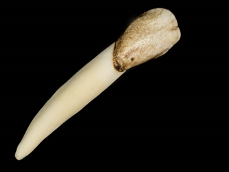 Moose Tooth