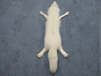 Arctic Fox Skin with Feet: Assorted