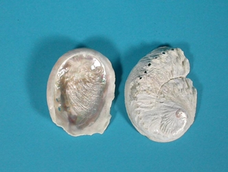 "Bleached African Abalone Mini Shell: 1""-3"""