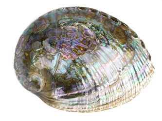 "Polished Mexican Green Abalone: 5""-6"""
