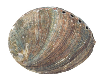 Mexican Green Abalone Shell