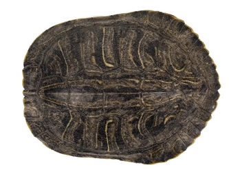 Red Ear Turtle Shell