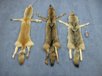 Coyote Skin with Feet