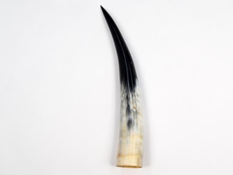 Polished Steer Horn