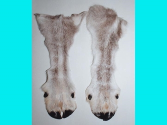 Reindeer Leg with Hoof: #2