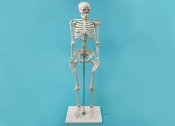 Replica Mini Human Skeleton