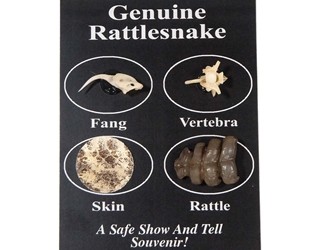 Real Rattlesnake Fang/Bone/Skin/Rattle Pack