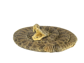 Mounted Real Rattlesnake Coiled: X-Small