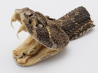 Real Rattlesnake Head: Open Mouth